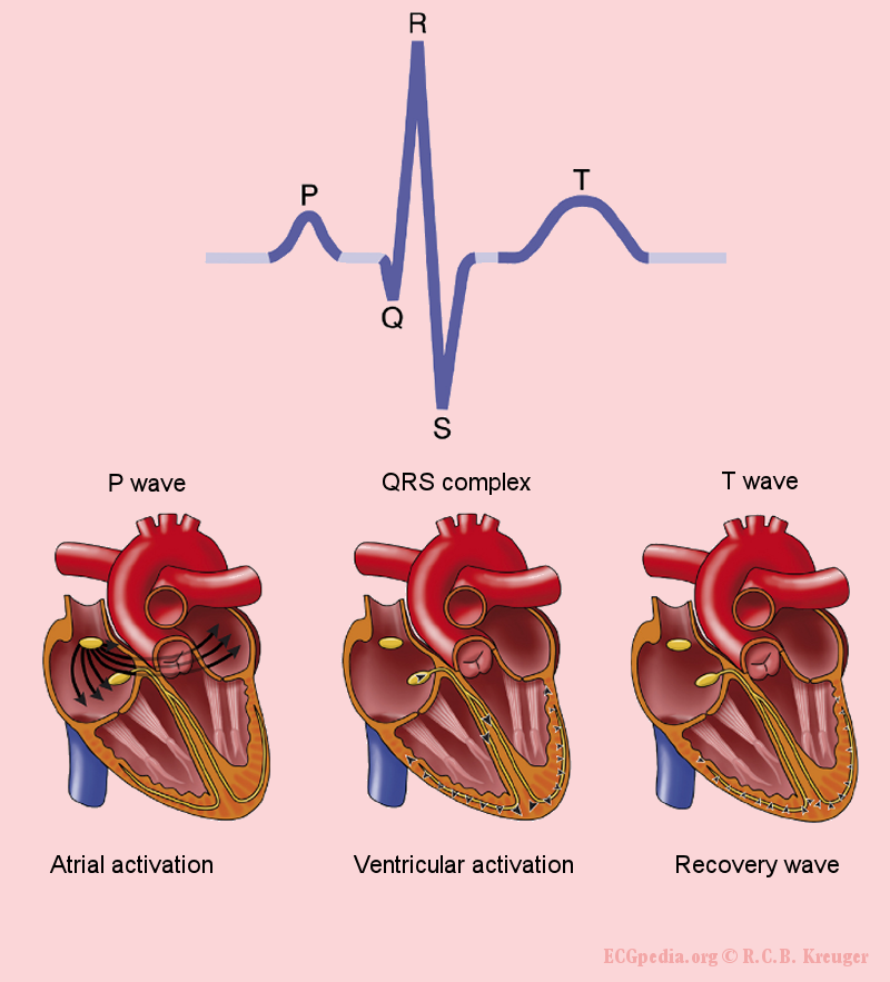 The origin of the different waves of the ECG